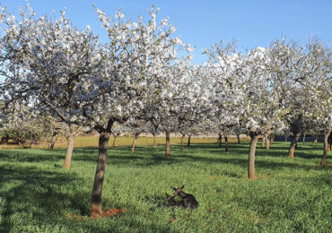 The magic of the almond blossom in Ibiza